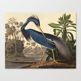 John James Audubon - Louisiana Heron Canvas Print