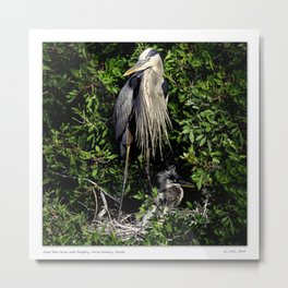 Great Blue Heron on the nest with fledgling Metal Print