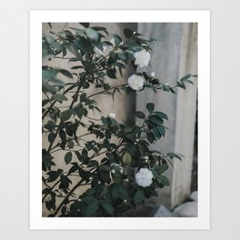White Camelias at the Mission Art Print