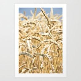 Golden Wheat Art Print