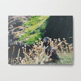 Puffin On Staffa Island Metal Print