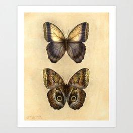Caligo oedipus Art Print