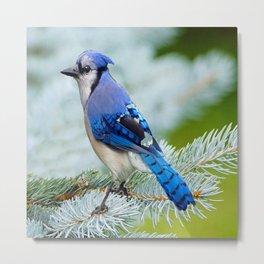 Blue Jay  in Winter Pine Tree Metal Print