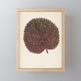 Gesnera exoniensis engraved by Benjamin Fawcett (1808-1893) for Shirley Hibberd's (1825-1890) New an Framed Mini Art Print