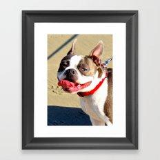 Portrait of a Boston Terrier Framed Art Print