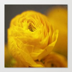 Golden Ranunculus Flowers Canvas Print