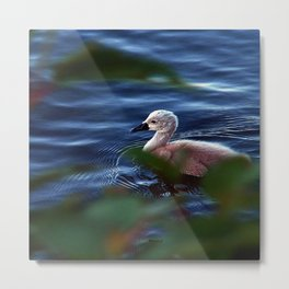 Baby Swan On The Water Metal Print
