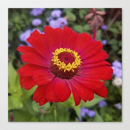 Red zinnia - blazing ring of fire Canvas Print