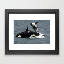 Killer Whales or Orcas Breaching Water Framed Art Print