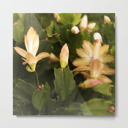 Christmas Cactus Buds and Blooms Metal Print