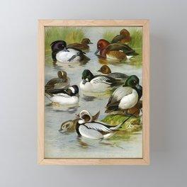 Tufted Duck Buffel headed Duck Golden eye Long tailed Duck Ferruginous Duck Scaup Duck6 Framed Mini Art Print