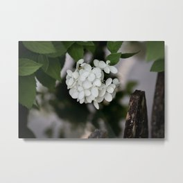 Hydrangea and Old Country Fence Metal Print
