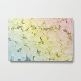 Rainbow colored hydrangea Metal Print