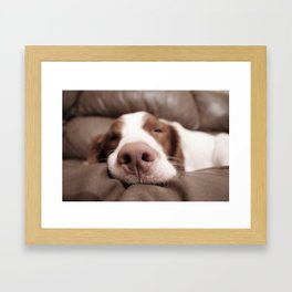 Funny Dog Photography Brittany Spaniel Close Up  Framed Art Print