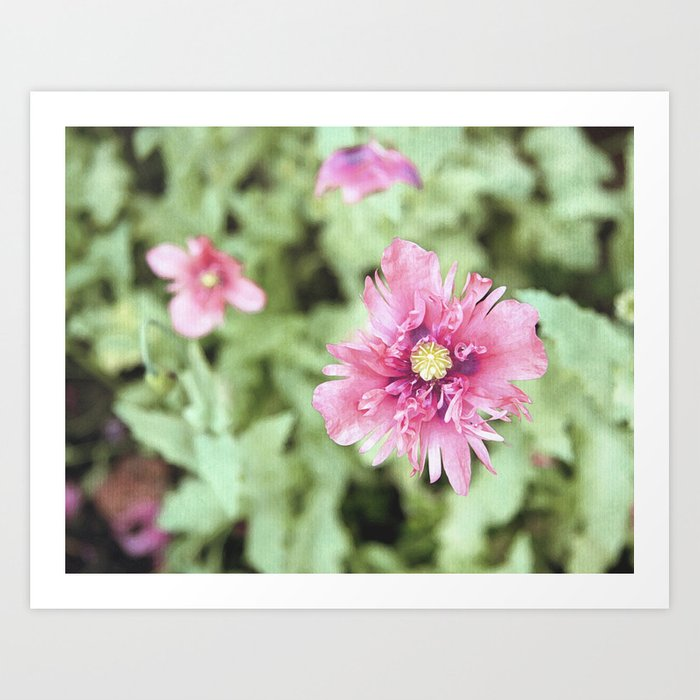 Pink and Green Opium Poppy Art Print