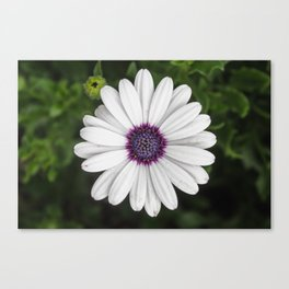 Flower Portriat - Purple Power Canvas Print