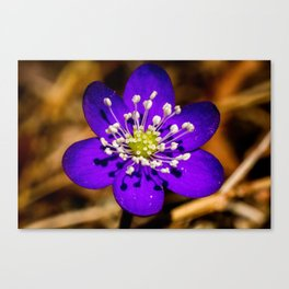 the first flower of spring Canvas Print