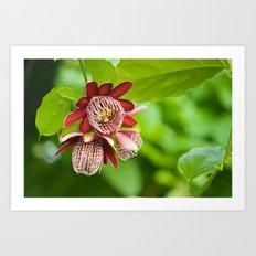 Passiflora 3 flowers 428 Art Print