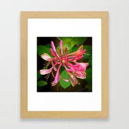 Honeysuckle by Teresa Thompson Framed Art Print