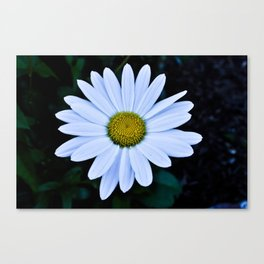 White and Yellow Daisy Canvas Print