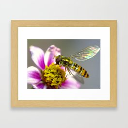 The Marmalade hoverfly (Part 1) Framed Art Print