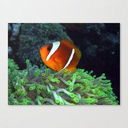 Anemone Fish in Anemone Canvas Print