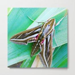 Vine Hawk moth Metal Print