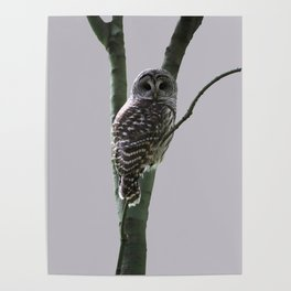 Barred Owl with Grey Poster
