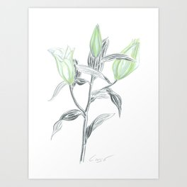 Lily 04 Botanical Flower * White Casablanca Lily Buds Art Print