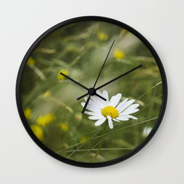 Flower. Oxeye Daisy (Leucanthemum vulgare) growing wild. Wall Clock