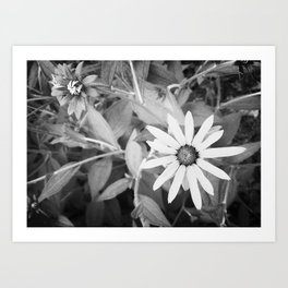 Black-eyed Susan 1 Black and White jjhelene Art Print