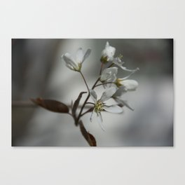 The fragile start of spring Canvas Print