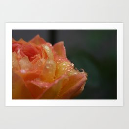 Dew on an Orange Rose Art Print