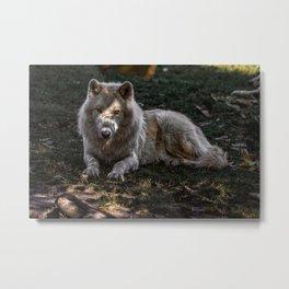 Arctic Wolf at the Toronto Zoo Metal Print