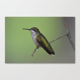 Ruby Throated Humming Bird At Rest Canvas Print