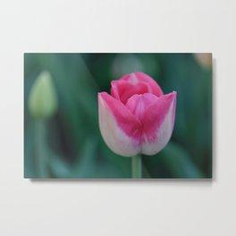 Beautiful Pink Tulip Metal Print