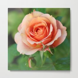 Garden pink rose flower blooming and two rose buds Metal Print