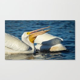 American White Pelican Catching a Minnow Fish Canvas Print