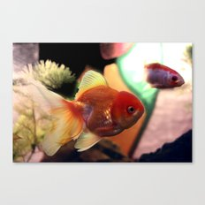 freshwater Gold fish Canvas Print