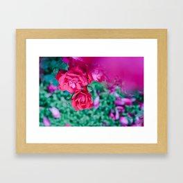 common roses Framed Art Print