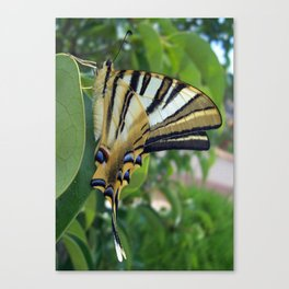 Swallowtail With Partially Closed Wings Side View Canvas Print