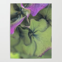 green hydrangea Poster