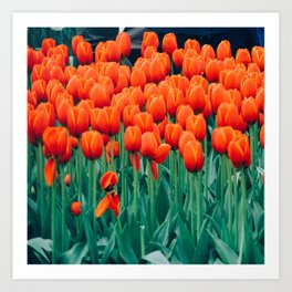 Tulips field 16 Art Print