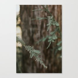 The Pine  Canvas Print