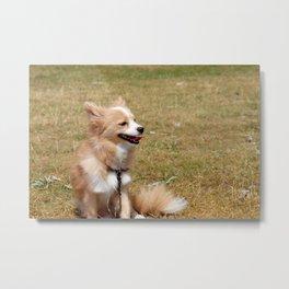 Piper, the Morkie-Pomeranian Puppy Under The Sun Metal Print