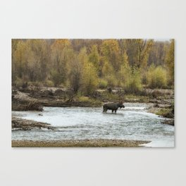 Moose Mid-Stream - Grand Tetons Canvas Print