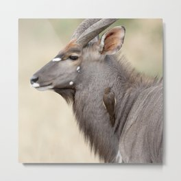 Nyala with Oxpecker Metal Print