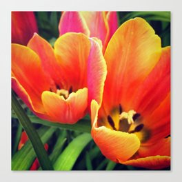 Coral Tulips in Bloom Canvas Print