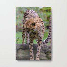 cheetah portrait fine art Metal Print