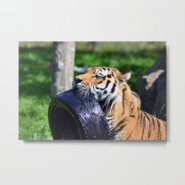 Tiger playing Metal Print